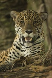 Jaguar Photographic Print by Joe McDonald