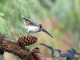 Tufted-Titmouse Reproduction photographique par Gary Carter