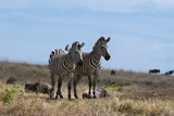 Plains Zebras Photographic Print by Sergio Pitamitz