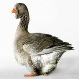 Toulouse Gander Photographic Print by Robert Dowling