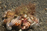 Anemone Hermit Crab Photographic Print by Hal Beral