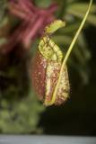 Raffle's Pitcher Plant Photographic Print by Hal Beral
