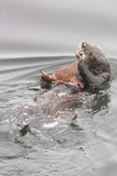 Southern Sea Otters Eats a Crab Photographic Print by Hal Beral