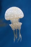 Spotted Jellly Photographic Print by Hal Beral