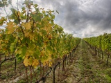 Autumn Vineyards Rows with Bright Color Photographic Print by Terry Eggers
