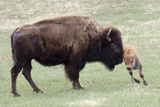 American Bison Cow with Calf Photographic Print by Hal Beral