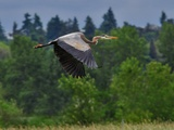 Blue Heron Flying Photographic Print by Steve Terrill