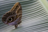 A Tropical Butterfly Laying Eggs on a Banana Leaf. Photographic Print by Joe Petersburger