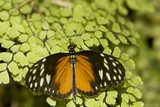 A Tropical Butterfly Rests on a Fern Leaf Photographic Print by Joe Petersburger