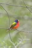 Painted Bunting Perching on Wire Fence Photographic Print by Gary Carter