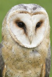 Barn Owl Close-Up Photographic Print by Hal Beral