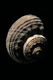 Turbo Torquatus Photographic Print by Paul Starosta