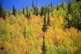 Yellow Aspen Trees in Steamboat Springs, Colorado Photographic Print by Ron Dahlquist