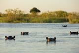Hippopotamus, Botswana Photographic Print by Michele Westmorland