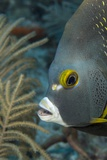 French Angelfish (Pomacanthus Paru). Photographic Print by Stephen Frink