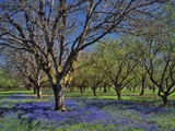Grape Hyacinth Flowers in Orchard Photographic Print by Steve Terrill