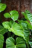Philodendrons Growing in Forest Photographic Print by Terry Eggers