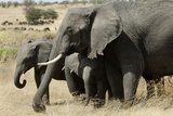 African Elephant Mother and Calves Photographic Print by Hal Beral