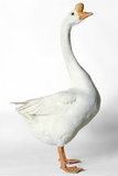 Chinese Goose Photographic Print by Robert Dowling