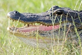 American Alligator Photographic Print by Gary Carter