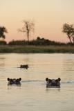 Hippopotamus, Botswana Fotografisk tryk af Michele Westmorland