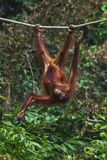 An Orangutan (Pongo Pygmaeus) at the Sepilok Orangutan Rehabilitation Center Photographic Print by Craig Lovell