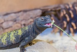 Uromastyx Lizard Photographic Print by Gary Carter