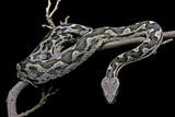 Daboia Lebetina Mauritanica (Moorish Viper) Photographic Print by Paul Starosta
