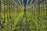 Hop Plantation Photographic Print by Frank Krahmer