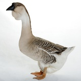 African Goose Photographic Print by Robert Dowling
