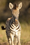 Burchell's Zebra Foal Photographic Print by Michele Westmorland