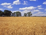 Wheat Field and Oak Trees Photographic Print by Steve Terrill