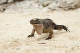 Exuma Island Iguana Photographic Print by Michele Westmorland