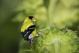 American Goldfinch Photographic Print by Gary Carter
