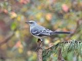 Northern Mockingbird Photographic Print by Gary Carter