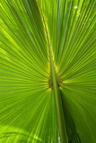 Hawaiian Fan Palm with Back Lighting Photographic Print by Terry Eggers