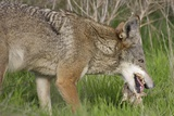 Coyote Eating Prey Photographic Print by Hal Beral