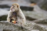 A Barbary Macaque Baby Feeding in the Arm of the Mother Animal Photographic Print by Joe Petersburger