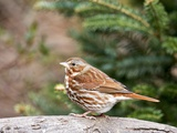 Fox Sparrow Photographic Print by Gary Carter