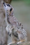 Meerkat Photographic Print by Robert Dowling