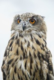 Eurasian Eagle-Owl Close-Up Photographic Print by Hal Beral