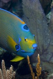 Queen Angelfish (Holacanthus Ciliaris) Photographic Print by Stephen Frink