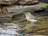 Pine Warbler (1St Year) Photographic Print by Gary Carter