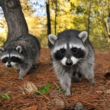 Curious Raccoons Photographic Print by Steve Terrill