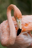 American Flamingo Taking Care of its Feathers Photographic Print by Joe Petersburger