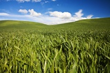Rolling Hills of Green Spring Wheat and Puffy Clouds Photographic Print by Terry Eggers