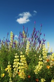 Lupin Meadow Photographic Print by Frank Krahmer