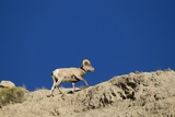 Bighorn Sheep Photographic Print by Joe McDonald