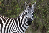 Plains Zebra Photographic Print by Sergio Pitamitz