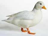 Call Duck Photographic Print by Robert Dowling
